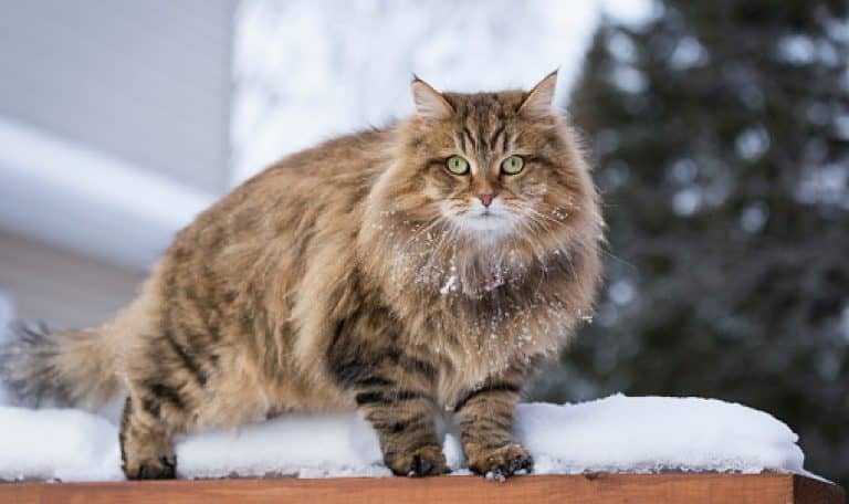 Searching for some stunning and superb Siberian cat names for your kitten? We've got your back! Check out our top 100 favorites!