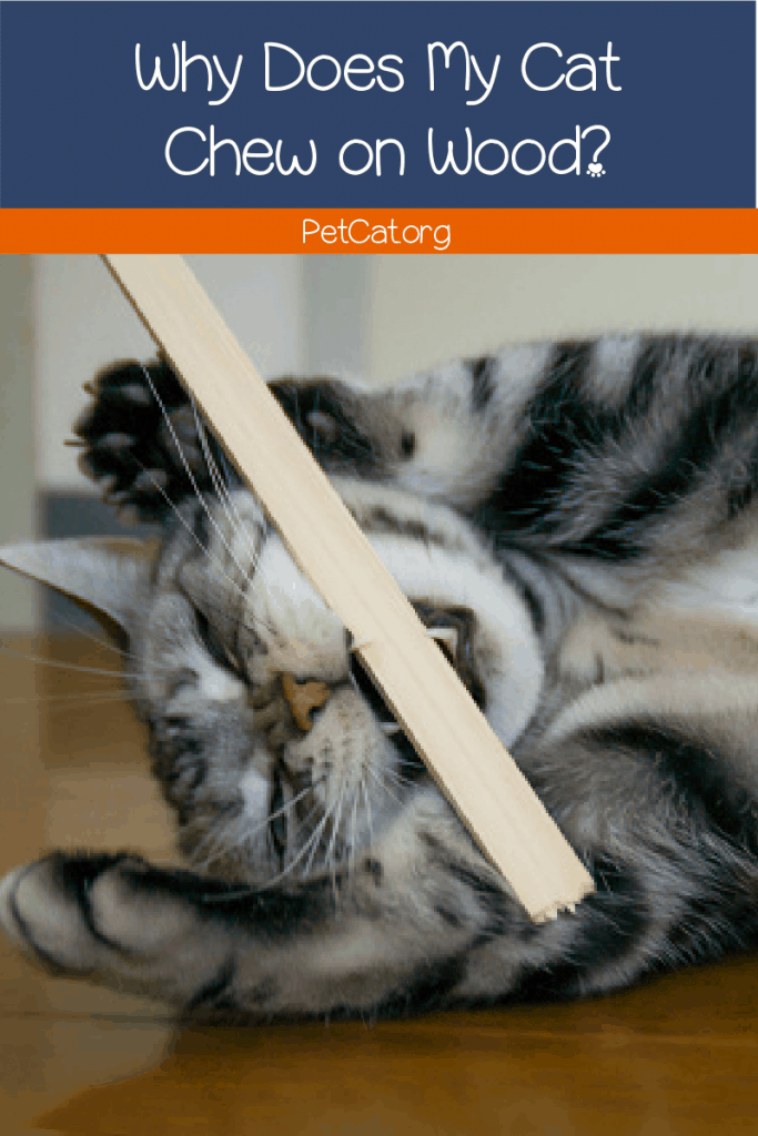 Why does my cat chew on wood?  How do I stop this strange behavior? Read on for the answers to both cat questions and more.